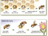 Lifespan Of A Bee Bee issues Pollinator org