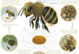 Lifespan Of A Bee Lesson 11 Honey Bee Life Cycle Coloring Pages Buzz Buzz