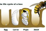 Lifespan Of A Bee Nasa Climate Kids A Bee is More Than A Bug