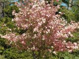 Little Poncho Dwarf Dogwood 6 Best Dogwood Tree Varieties Plant A Tree Pinterest Dogwood