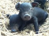 Mulefoot Hogs for Sale Heritage Hogs Morganic Farm