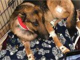 Pet Supplies Beaumont Tx Dog Shot Multiple Times Saved 16 Year Old Owner From Burglary