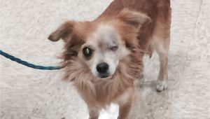 Pets without Partners Redding Ca Robert is A 5 to 6 Year Old 8 Pound Long Haired Chihuahua He is A