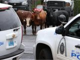 Pick A Part E St Louis Cattle that Escaped From St Louis Slaughterhouse are Headed to
