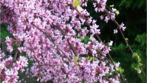 Pink Heartbreaker Weeping Redbud Pink Heartbreakera Redbud Low form