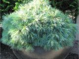 Pinus Strobus Blue Shag Garden Adventures for Thumbs Of All Colors top 5 or 6 Favorite