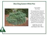 Pinus Strobus Blue Shag Pinus Strobus Blue Shag iseli Nursery