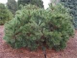 Pinus Strobus Blue Shag Pinus Strobus Blue Shag oriental Garden Supply Llc