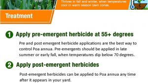Poa Annua Pre Emergent How to Kill Poa Annua Annual Bluegrass Your Step by Step Guide