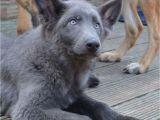Powder Blue German Shepherd German Shepherd Puppies Stunning Colours Hove East