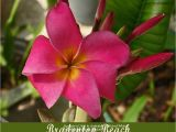 Rooted Plumeria Plants for Sale Classifieds and Group Buys forum Chefmikes Plumeria Sale All Plants