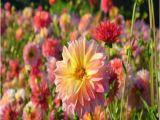 Swan island Dahlias Coupon Popular island Flowers Buy Cheap island Flowers Lots From