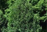 Techny Arborvitae for Sale Arborvitae Techny Chalet Nursery
