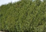 Techny Arborvitae for Sale Techny Arborvitae