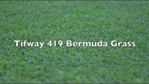 Tifway 419 Bermuda Grass Tifway 419 Bermuda Grass Youtube