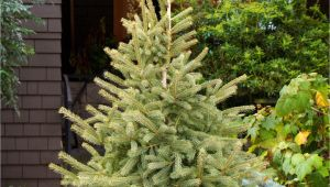 Trees that Grow Well In Colorado Black Hills Spruce Monrovia A Truly Cold Adapted Tree the Black