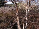 Types Of Birch Trees Birch Tree Pictures Images Photos Facts On Birch Trees