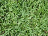 Types Of Grass In Florida Lawn Grass Types In Florida Decor References