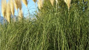 Types Of Grass In Georgia Growing Pampas Grass How to Care for Pampas Grass