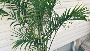 Types Of House Palm Trees Potted Palm Images which are the Typical Palm Species