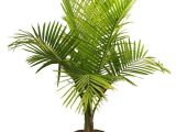 Types Of House Plant Palm Trees Palm Tree Types as Houseplants Hardy Exotic solutions