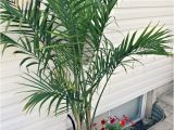 Types Of House Plant Palm Trees Potted Palm Images which are the Typical Palm Species