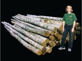 White Birch Logs Lowes White Birch Wood Logs Decorative White Birch Logs Birch