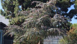 Wissel S Saguaro False Cypress Acacia Baileyana Purpurea Plants Pinterest Acacia Baileyana